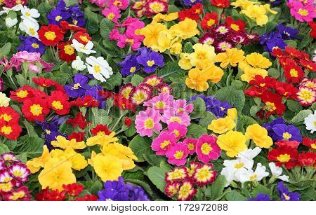 Colored Primroses During The First Days Of Spring