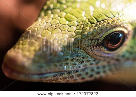 Emerald tree monitor (Varanus prasinus) head. Arboreal monitor lizard in family Varanidae aka green tree monitor from New Guinea