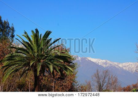 The contrast of Nature in Chile. warm palm trees in the valley and snow in the high mountains