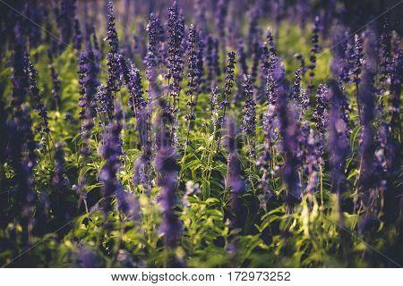 Image of purple flowers in a garden.