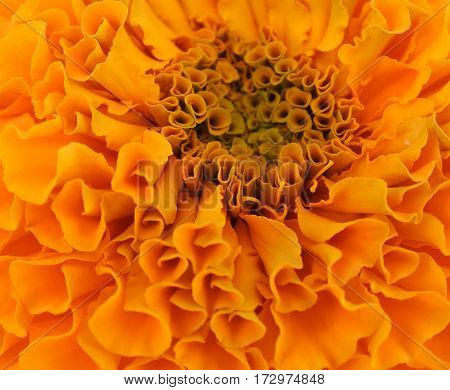Macro close up of marigold blossom in full bloom