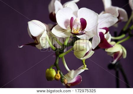 White pink mini orchid in full bloom