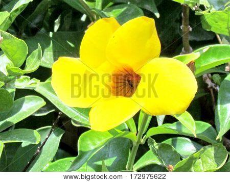 Yellow Mandevilla Sanderi flower in Or Yehuda Israel June 20 2011