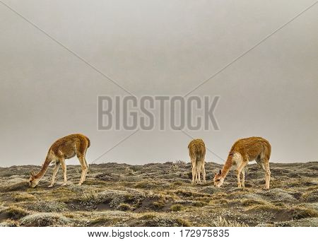 Group of vicunas at chimborazo park in a foggy morning Ecuador South America
