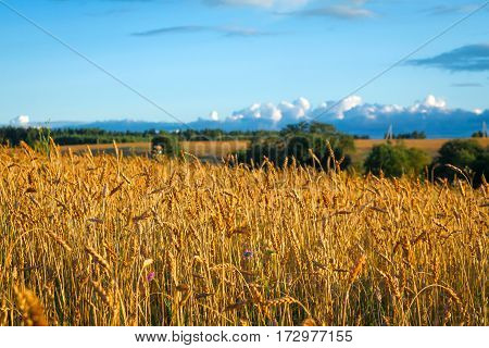 Beautiful large rural field with ripe ears of rye at sunset. Blue sky with clouds. The end of summer.