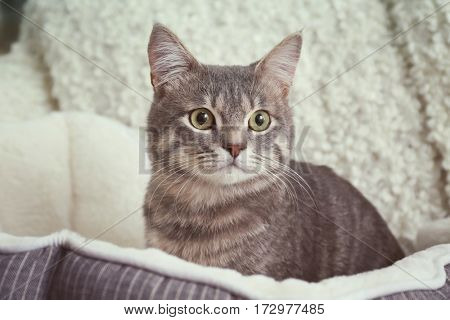 Cute cat in soft pet bed, closeup