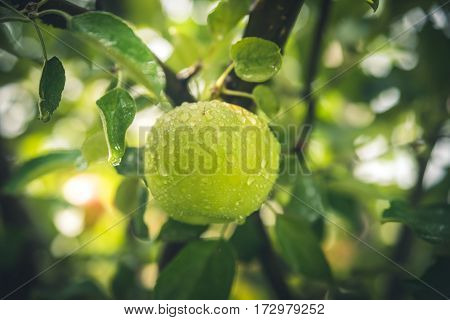 Image of a wet green apple after the rain.