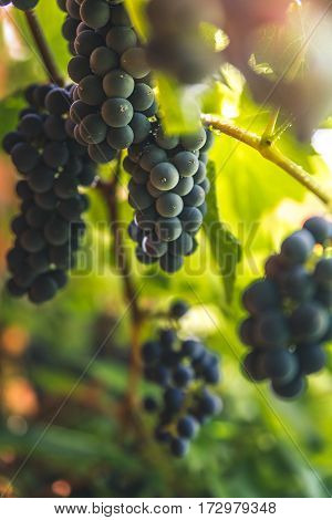 Image of grapes growing in a garden.