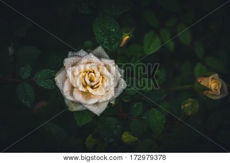Image of a lone white rose in a garden.