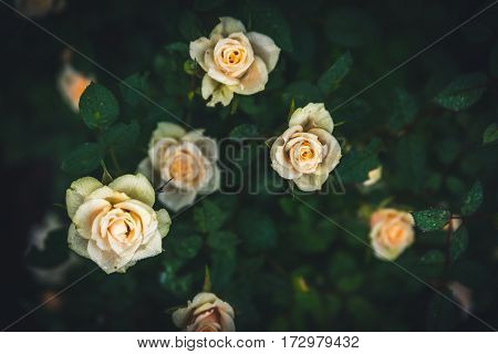 Image of white roses in a garden.