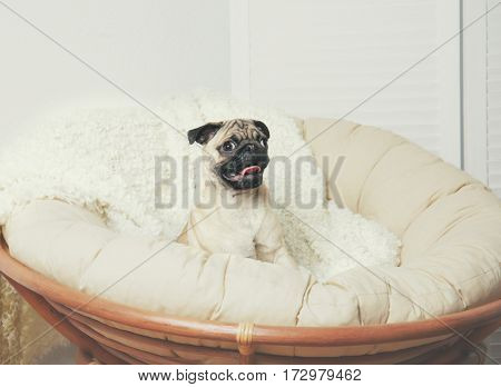Pug dog sitting on lounge chair at home
