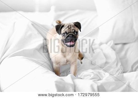 Pug dog playing on white bed