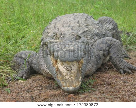 West African Crocodile with its mouth open in Burkina Faso