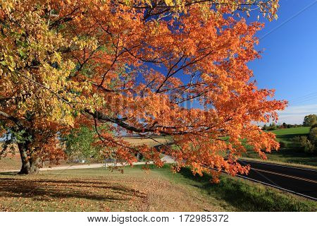 Autumn maple leaves in vibrant orange and yellow
