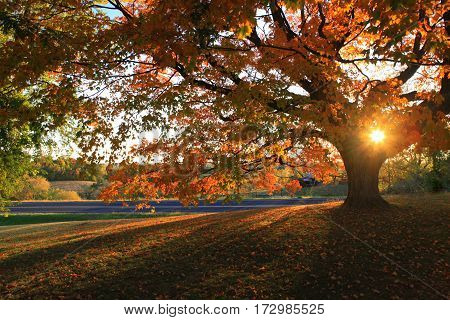 Autumn sunset bursting through limbs of colored maple tree leaves