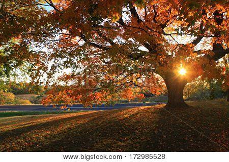 Autumn sunset shining through evening limbs of old growth Maple tree