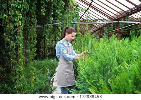 Pretty young gardener looking after juniper in greenhouse