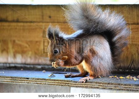 Red Squirrel eating a nut, Isle of Wight