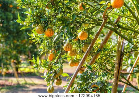 Orange tree - Orange Farm in fang district at Chiang Mai Thailand