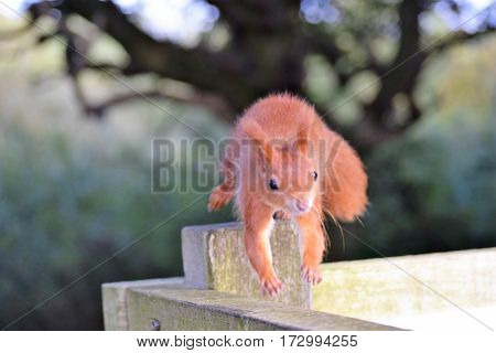 Red Squirrel running on a fence, Isle of Wight
