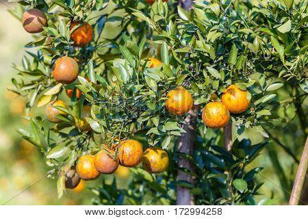 Orange tree - Orange Farm in fang district at Chiang Mai Thailand