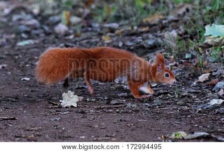 Red Squirrel, on a trail Isle of Wright