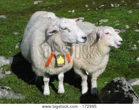 a sheep mother and her lamb poster