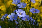 Blue flowers of decorative linum austriacum and its runaways on a difficult background. poster