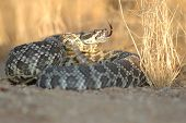 The southern pacific rattlesnake is found in southern California. Seen here in a coiled defensive pose. poster