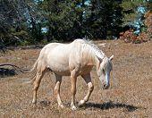 Wild Horse Mustang Palomino Mare on Tillett Ridge in the Pryor Mountains Wild Horse Range on the Wyoming Montana state line border USA poster