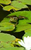 A bullfrog perched on a lily pad with lotus blossom in the foreground poster