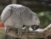 A grey parrot is curious about the camera poster