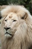 Male white lion. The white lion is a colour mutation of the Transvaal lion (Panthera leo krugeri), also known as the Southeast African or Kalahari lion. poster