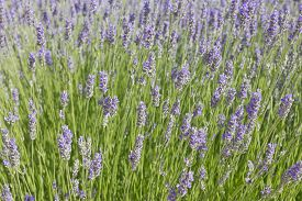Background image of lavender flowers (Lavandula) with some bees.