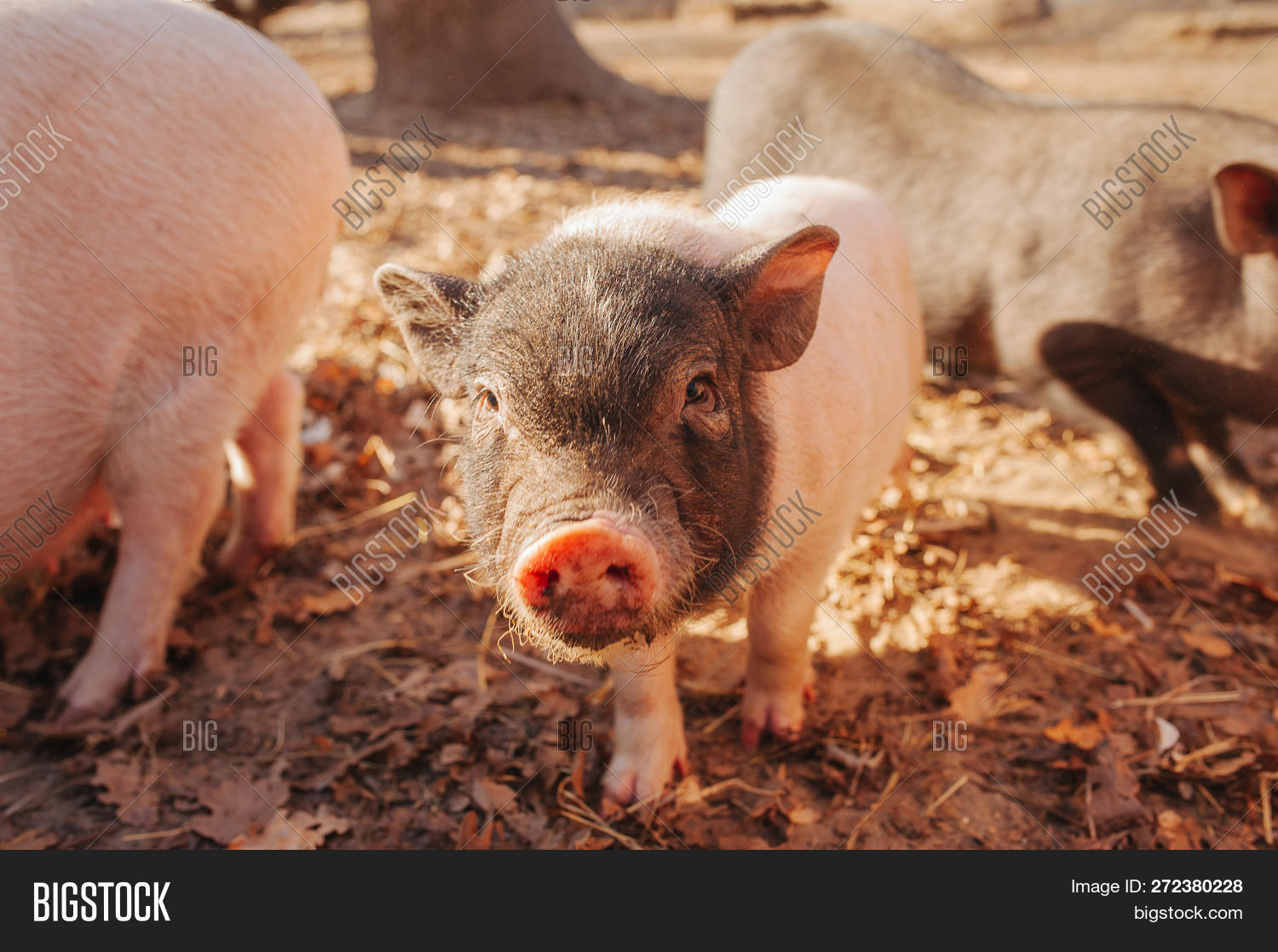Small Piglet Waiting Image & Photo (Free Trial) | Bigstock