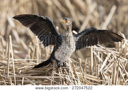 Lone Immature Reed Cormorant Drying Its Wings While Sitting On Dead Reeds