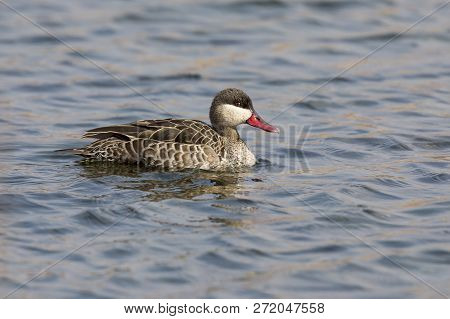 Lone Red-billed Teal Floating On The Surface Of A Windy Dam