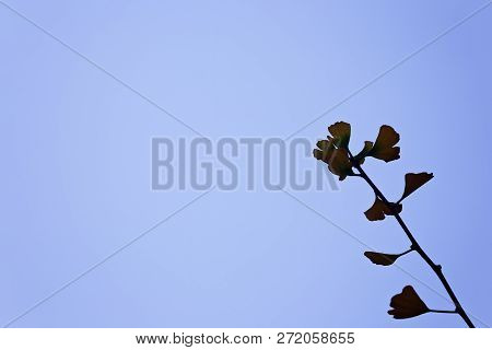 Single Gingko Leaf Branch, With Blue Sky Background, In San Francisco Japantown