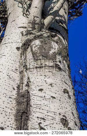 Populus Tremula, Aspen Tree, European Aspen Or Quaking Aspen Tree