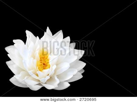 Japanese Water Lily