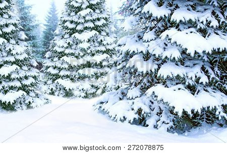 Beautiful Winter Forest. Spruces Covered By White Snow In Wood. Beautiful Coniferous Forest In Snow.