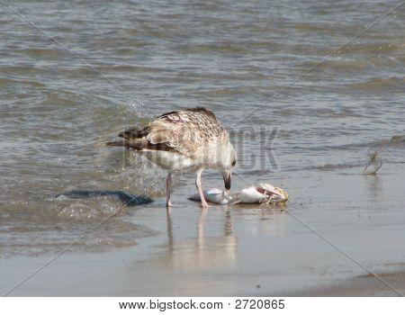 Seagull Eating Fish