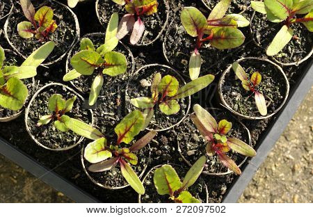 Red Beetroot Plants, Beta Vulgaris, Also Known As Beets, Growing In Reused Card Tubes For Transplant