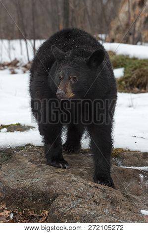 Black Bear (ursus Americanus) Stands On Bare Rock In Snow - Captive Animal
