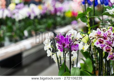 Orchid In Pot In Flower Shop. Concept Of Flowers Market