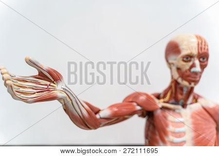 Human anatomy and physiology model in the laboratory for education. poster