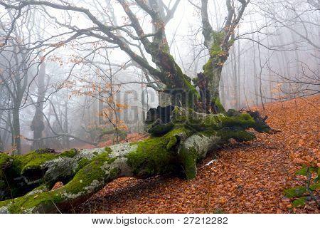 Old oak tree in misty forest