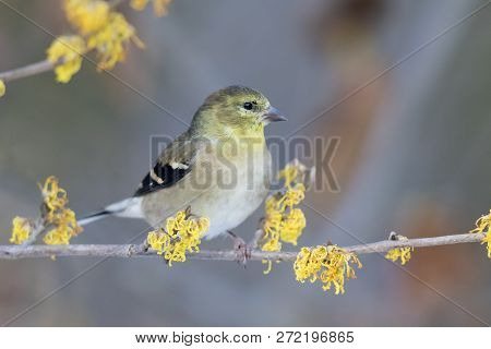 American Goldfinch (spinus Tristis) Perched In A Flowering Witch Hazel Shrub In Late Autumn - Ontari