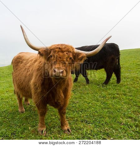 Close View Natural Brown Horned Scottish Highland Beef, Green Grass