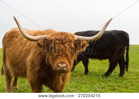 Portrait Of Natural Brown Horned Scottish Highland Beef, Green Grass